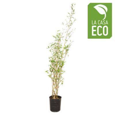 Caña Bambu