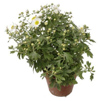 Crisantemo m11