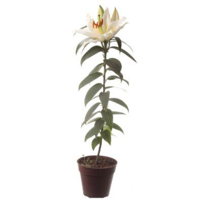 Lilium perfumado m15