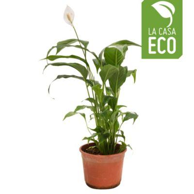 Spathiphyllum m15