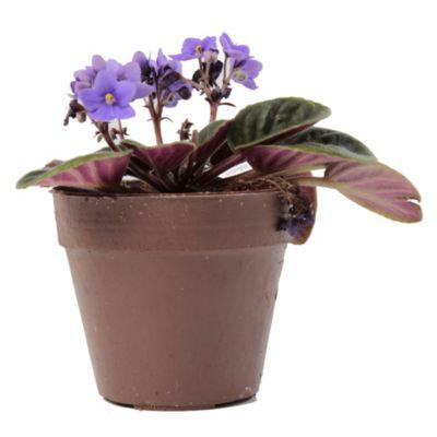 Violeta Africana M12