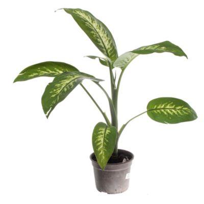 Dieffenbachia tropic m14