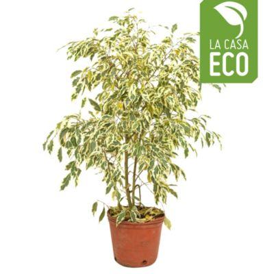 Ficus Blanco