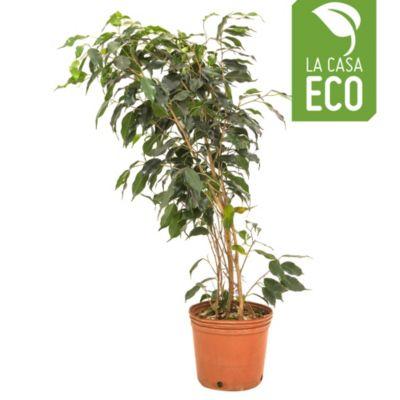 Ficus Negro