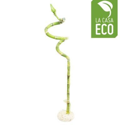 Bambú de suerte 40 cm vidrio