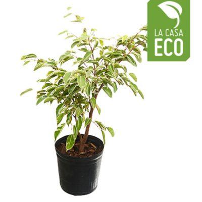 Ficus 3L