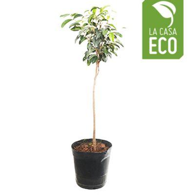 Ficus arbolito 5L